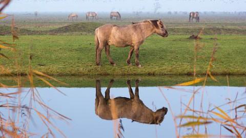 Verhuizing konikpaarden naar Wit-Rusland uitgesteld
