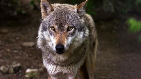 FvD: wolf niet welkom in Flevoland