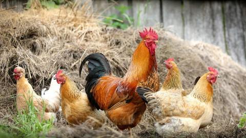 Animal Rights: beelden kippenstal zijn echt