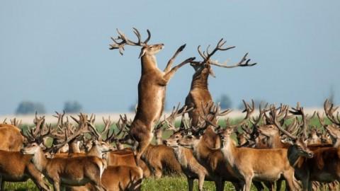 Vlees afgeschoten herten gaat naar Amsterdamse wildgroothandel