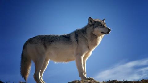 Schade door wolven nog zeker drie jaar vergoed