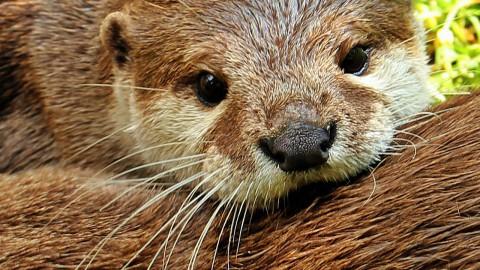 Ontsnapte otter zorgt voor nieuwe bloedgroep
