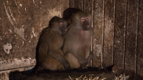 Stichting AAP redt acht bavianen uit Duitsland
