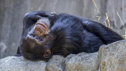 Chimpansee terug naar dierentuin Skopje