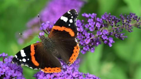 Boeren gaan vlinders rond hun bedrijf tellen