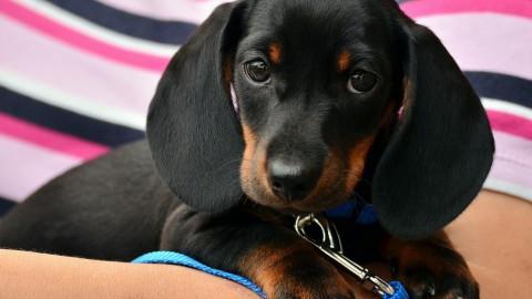 'Honden hebben spieren bij oog beter ontwikkeld voor communicatie'