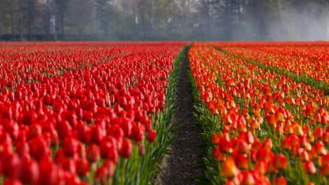 'Ga op tijd naar de tulpenvelden en wacht niet tot het einde'