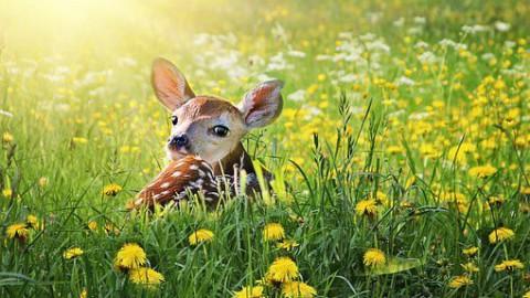 Disney maakt liveactionversie van Bambi