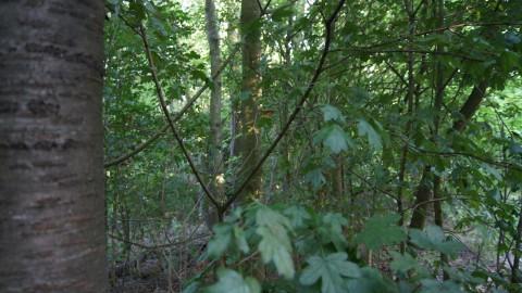 SP stelt onderzoek in naar bomenkap Westerdreef