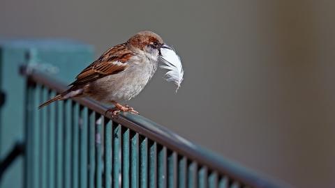 Huismus meeste geteld bij tuinvogeltelling