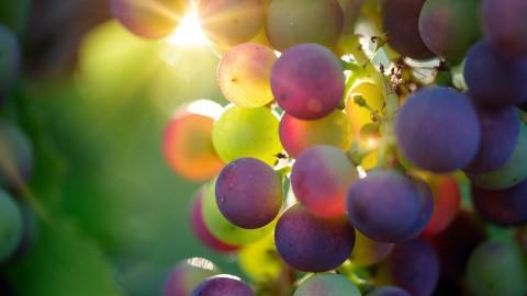 Wijn gemaakt van druiven uit Almere