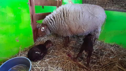 Eerste lammeren geboren op kinderboerderij De Beestenbende