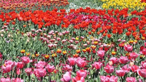 Meer buitenlandse bezoekers voor Tulpenfestival
