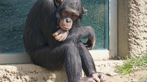 Gezin staat oog in oog met ontsnapte chimpansee